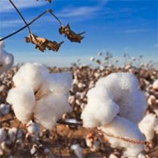 Der Weg der Baumwolle